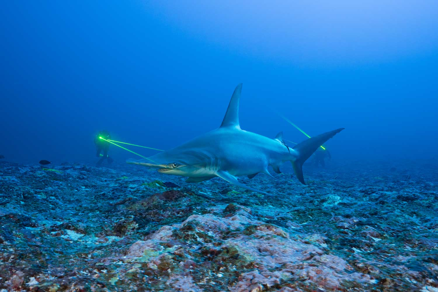The hammerhead shark out in open Polynesian waters, where it is a protected species